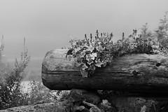 Balade dans la brume (uluqui) Tags: canon eos 6d fullframe nature outdoor alps france light mist brume tree trees summer fleurs flower blackandwhite bw noiretblanc