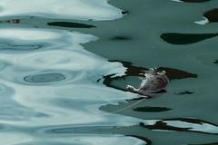 """ Colors of Death "" (Petra U.) Tags: alicante harbour rat death hafen treibgut ratte water gruselig"