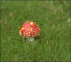 Fly Agaric (catb -) Tags: toadstool mushroom flyagaric amanitamuscaria wexford ireland fungus