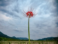 Up in the sky (somazeon) Tags: f28 1235mm gx7 lumix panasonic japan ricefield flower autumn rural red spiderlily