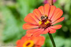 FLOR (juan carlos luna monfort) Tags: bicho abeja rojo macro natura naturaleza verde rumania romania tileagd bihor nikond810 nikon24120 calma paz tranquilidad