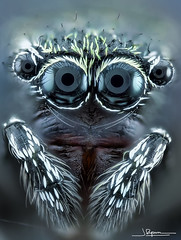 jumping spider (quenoteam) Tags: nikon eyes spider araña stacking closeup