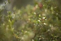 Spyridium thymifolia (louisa_catlover) Tags: karwarra karwarraaustraliannativebotanicgarden botanicgarden garden nature australian native kalorama dandenongs melbourne victoria australia spring october outdoor plant flowers bokeh dof helios helios442 manual vintagelens spyridium spyridiumthymifolia rhamnaceae