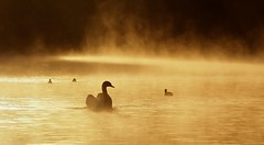 Sun breaking through the mist on Overton Lake. 3/10/2019 (Paul Dermot Gallagher) Tags: mist overton lake swans coots sunshine hank you roy for those extremely kind comments have great sunday if it ever stops raining