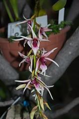 Epigeneium treacherianum (douneika) Tags: epigeneium treacherianum orchidea orchidaceae orquidea orchid orchidee taxonomy:family=orchidaceae taxonomy:binomial=epigeneiumtreacherianum