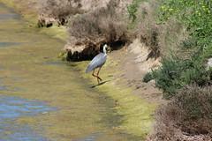 Héron Île de Ré (v.lahure) Tags: oiseaux nature héron