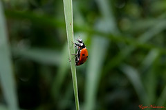 Coccinelle à sept points Coccinella septempunctata (Ezzo33) Tags: france gironde nouvelleaquitaine bordeaux ezzo33 nammour ezzat sony rx10m3 parc jardin insecte insectes coccinelleàseptpoints coccinellaseptempunctata bêteàbondieu