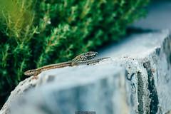 Kind of a Dragon (Nicola Pezzoli) Tags: italy italia lombardia val seriana bergamo leffe gandino nature natura lizard green dragon lucertola cerida