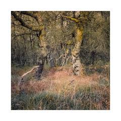 Autumnal Birch 2 (gerainte1) Tags: hasselblad501 velvia50 film colour trees yorkshiredales