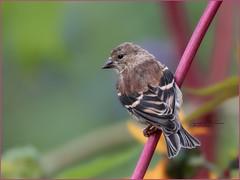 American Goldfinch (Rainfire Photography) Tags: rosettamcclain garden songbird goldfinch scarborough bird nikon toronto ontario wildlife