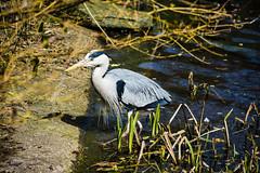Animals (ost_jean) Tags: animals birds dieren vogels natuur nikon d5200 7003000 mm f4563 ostjean reiger