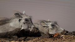 The way to cool off (leendert3) Tags: leonmolenaar southafrica krugernationalpark wildlife wildanimal nature naturereserve naturalhabitat mammals warthog naturethroughthelens