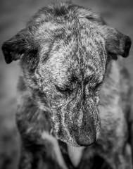 Her name is trouble / ihr Name ist Trubel (www.altglas-container.de) Tags: trubel dog hund pet haustier portrait porträt blackwhite monochrom monochrome