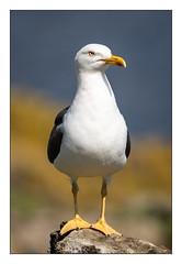Seagull (Thomas Walkner) Tags: seagull möwe isleofmay scotland schottland thomaswalkner gull seevögel bird sea anstruther
