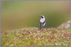 Male Wheatear (www.andystuthridgenatureimages.co.uk) Tags: wheatear male moor moorland yorkshiredales national park bird migrant summer spring canon ground perched standing