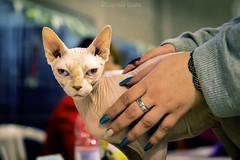 io sono Don Sphynx / I'm Don Sphynx (Eugenio GV Costa) Tags: approvato cats gatti cat gatto animal animale domestico sphynx