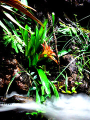 FLOWER (MIENTKI) Tags: flower tropicalflower tropic tropiki