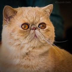 Gatti 4 / Cats 4 (Eugenio GV Costa) Tags: approvato cats gatti cat gatto animal animale domestico