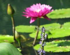 an October Slaty skimmer @ Gibbs Gardens (Vicki's Nature) Tags: slatyskimmer male blue dragonfly purple pickerelweed pink blossom flower waterlilies lilypads pods japanesegarden pond gibbsgardens georgia vickisnature canon s5 2647