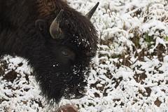 Bison (chmptr) Tags: bison mammifère animalier animal mammal wildlife yellowstone