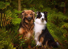 Picture of the Day (Keshet Kennels & Rescue) Tags: adoption dog dogs canine ottawa ontario canada keshet large breed animal animals kennel rescue pet pets field nature autumn fall photography pai two friends ferns jungle lush plants green collies collie australian shepherd border mix