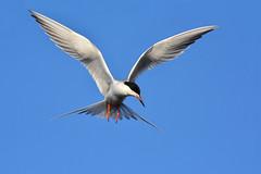 TernLookingDownRight1 (2)Smaller (Rich Mayer Photography) Tags: tern terns bird birds avian nature fly flying flight wild life wildlife nikon