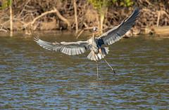 Too cold!!! (SusieMSB7) Tags: water pond birds nature flight heron