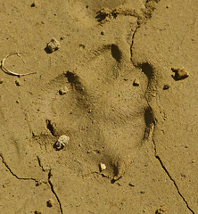 Trittsiegel vom Rotfuchs im Uferschlamm (naturgucker.de) Tags: ngidn6360832 vulpesvulpes rotfuchsgeorgien2019
