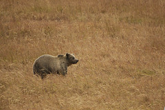 Grizzly bear (chmptr) Tags: bear grizzly mammifère animal mammal wildlife yellowstone ours animalier