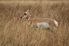 Pronghorn (chmptr) Tags: animal mammifère pronghorn animalier mammal wildlife grand teton