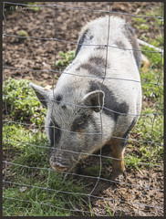 Pig DSC_3895 (dark-dave) Tags: pig farm elsenham essex daisymaysfarm