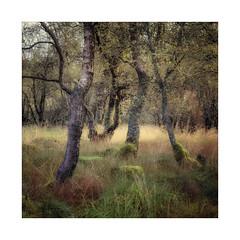 Autumnal Birch (gerainte1) Tags: trees autumn colour yorkshiredales film velvia50 hasselblad501