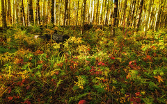 Aspen Forest Floor (rigpa8) Tags: wilderness colorado autumn september fallcolors forests forestfloor aspentrees ruleofthirds serenity nature ngysaex