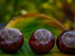 Banquet of Chestnuts (BeMo52) Tags: autumn bokeh chestnuts dof flora funkienblatt garten herbst hostaleaf kastanien lumixgmacro30mmf28 macro makro natur nature