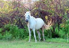 Sábado animal (sonia furtado) Tags: sábadoanimal animal equino cavalo pãodeaçúcar al nordeste brasil brazil soniafurtado