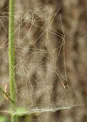 Pollen-coated web, with spider (cotinis) Tags: arthropod spider araneae linyphiidae linyphiinae frontinella frontinellapyramitela sheetwebspider bowlanddoilyweaver northcarolina piedmont canonef100mmf28macrousm arachtober inaturalist