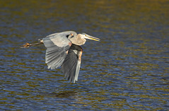 Heron in flight (SusieMSB7) Tags: pond nature water flight birds heron