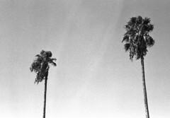191004 una bella coppia (enricospinozzi) Tags: palme coppia film analog enricospinozzi