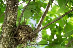 Two of three (Wicked Dark Photography) Tags: wisconsin backyard birds nature nest nestlings robins summer wildlife