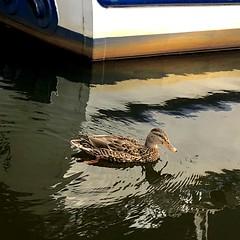 A Female Mallard - Had no food😕 (halleluja2014) Tags: kvarnberget falun autumn october afternoon interested hungry swimming female hona fågel bird mallard gräsand