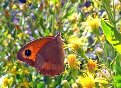 Small heath (butterfly) (smokykater - 800k+ views) Tags: butterfly animal insect smallheath greece corfu wiesenvögelchen schmetterling color thin summer flower pollen meadow adult grassland