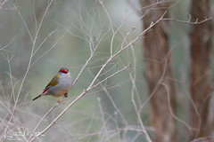 Red-browed Firetail (Neochmia temporalis) (KristenMartyn) Tags: bird birds australia tourism travel ecotourism redbrowedfiretail firetail finch neochmiatemporalis newsouthwales queensland