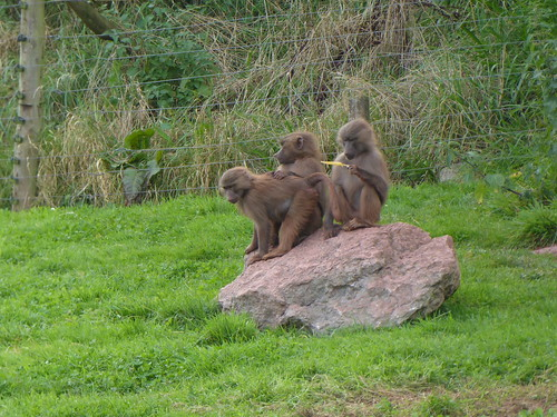 Hamadrya Baboons