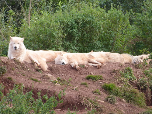 Linear Arctic Wolves