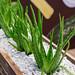Kaktus im Steinbett