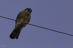 A Kestrel Glance. (Lisa Roeder) Tags: wildlife birds americankestrel kestrel