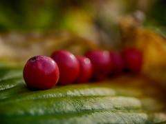 join the queue (BeMo52) Tags: autumn dof flora funkienblatt garten herbst hostaleaf inarow lumixgmacro30mmf28 macro macromondays makro natur nature ornamentalapples zieräpfel
