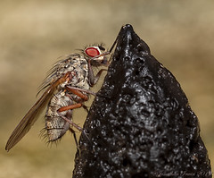 Cluster Fly_E5A7221 (Jonathan Irwin Photography) Tags: cluster fly macro flash diffuser