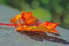 Leaves (L@nce (ランス)) Tags: fall leaf leaves autumn bokeh fence jamesbay britishcolumbia nikon canada nikkor victoria