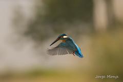 Kingfisher (jrgmonje) Tags: martín pescador kingfisher alcedoatthis sevilla aves birds fauna urbana urban wildlife